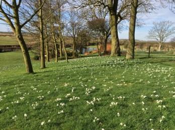 brightwater-gardens-jacks-lawn-new-snowdrops