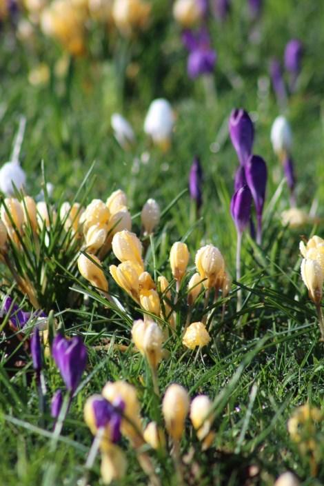 brightwater-gardens-saxby-lincolnshire-snowdrops-winter-gardens-2