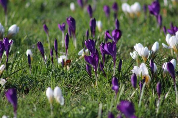 brightwater-gardens-saxby-lincolnshire-snowdrops-winter-gardens-4