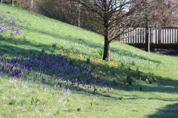brightwater-gardens-saxby-lincolnshire-snowdrops-winter-gardens-9