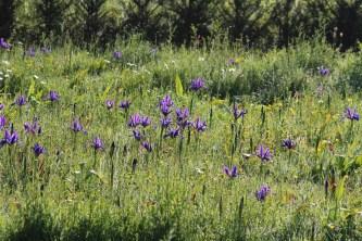 iris-in-the-meadows