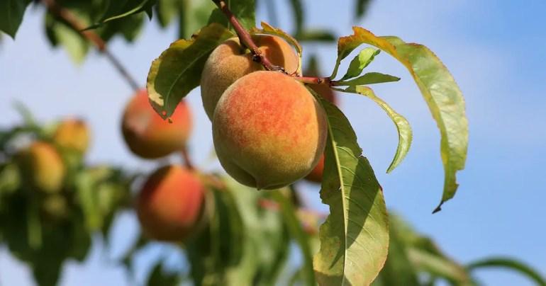 Peach Tree Bunch