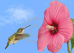 hummingbird-at-a-hibiscus-flower-thumb24086491