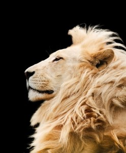 Lion_123rf_PaulMaguire