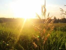 sunwheat_mariotrunz