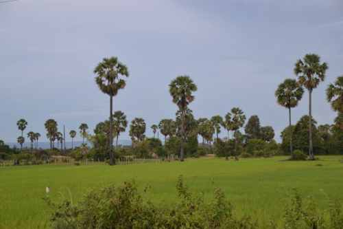 Cambodia Rice Field View with Palms