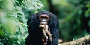 A chimp with a Red Colobus Monkey. Chimps are aggressive hunters