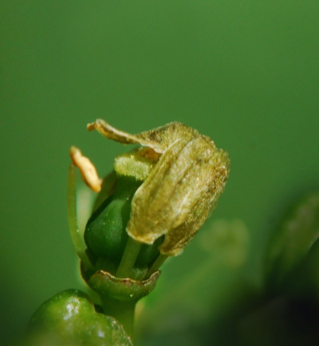 The calyptra is shed and pollen is transferred from the anthers to the stigma fertilizing the flower.