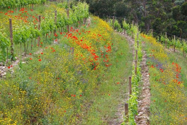 Vineyard cover crops planted to promote biodiversity.
