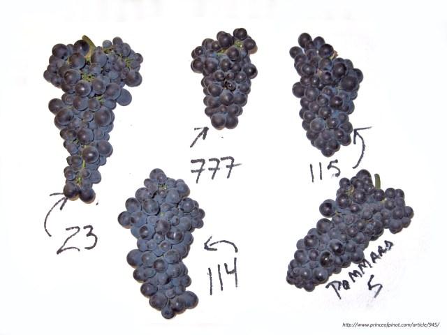 Pinot Noir Clones