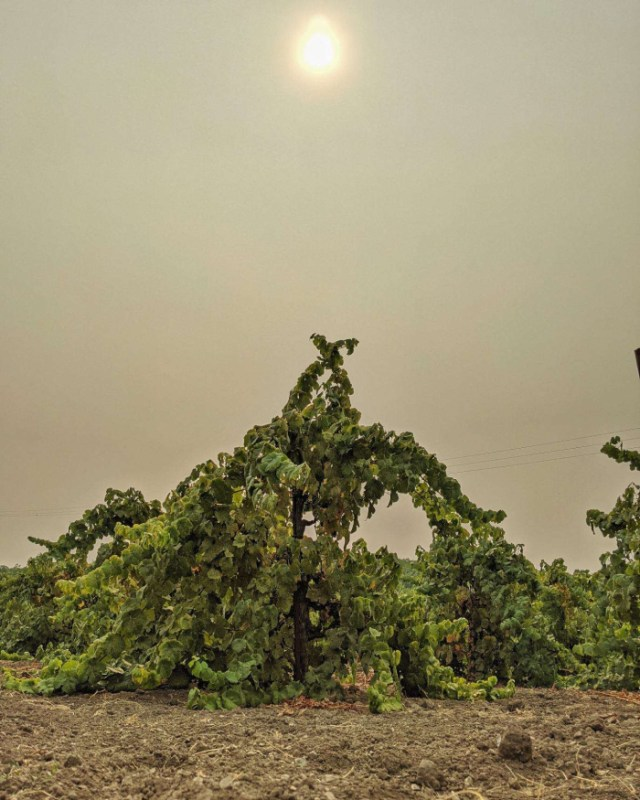 California is on fire right now. While we have been spared from an immediate threat here in Paso Robles, the air has not; as this image of a Tannat vine reflects.  We're keeping our neighbors in our hearts.