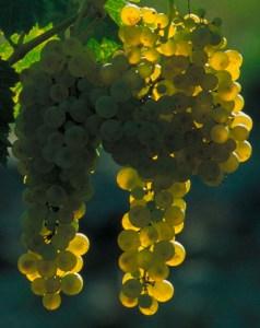 Muscadelle grape; Bordeaux.com