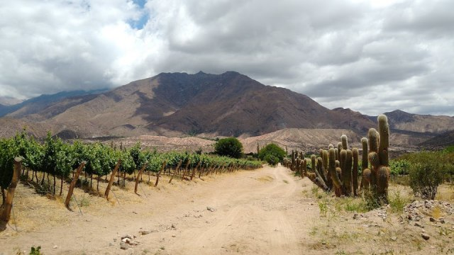 Tacuil is a remote, patchwork location: the vineyards are planted in a series of parcels on mountain valleys and rivers. While the cardon cacti have adapted to the dry conditions, the vineyard requires drip irrigation.