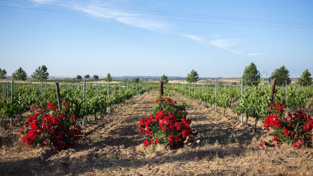 The central sector of Ribera del Duero, near Roa, is home to some of the region's top bodegas, including Alonso del Yerro.