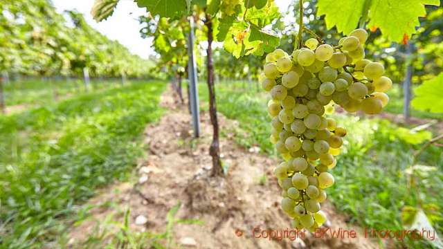 Glera grapes ready to be harvested in the Prosecco region in Italy, copyright BKWine Photography