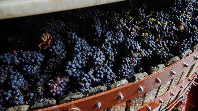 Pinot grapes in a press in Champagne, copyright BKWine Photography