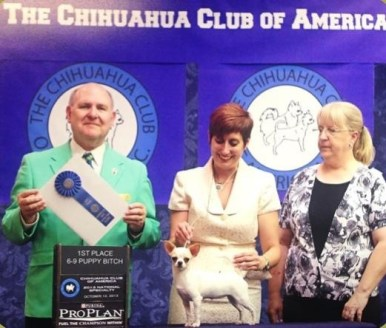 CH. Brislins One Sweet Day-S 1st. in her class at the Chihuahua Club Of America National Specialty