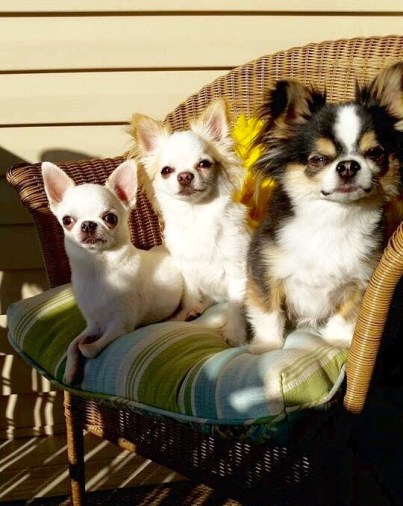 Chihuahuas owned by Kimberly Helsley