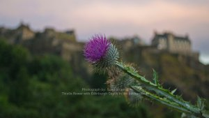 the-scottish-thistle