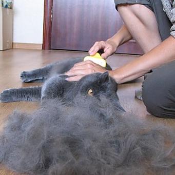 Британская кошка сильно линяет, что делать?