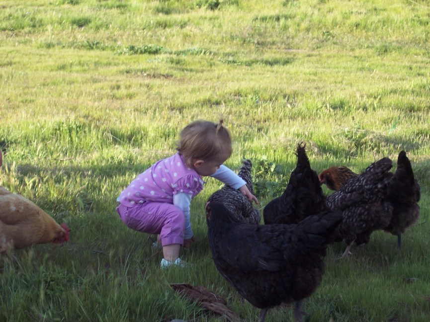 Chickens, maybe they know something we don't