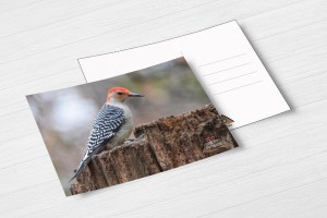 Red-bellied woodpecker postcard by BritHikesOntario