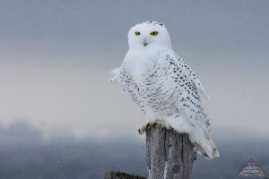 snowy owl by BritHikesOntario