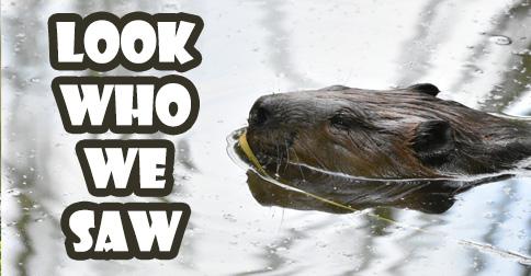 durham beaver