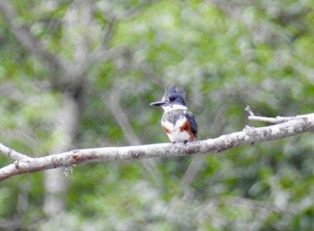 Belted Kingfisher (Megaceryle alcyon), Comox Valley, British Columbia.