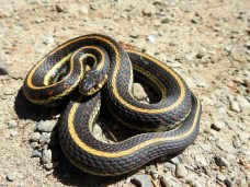 Common Garter Snake (Thamnophis sirtalis), Comox Valley, British Columbia.