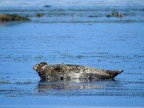 Harbour Seal (Phoca vitulina), Comox Valley, British Columbia.