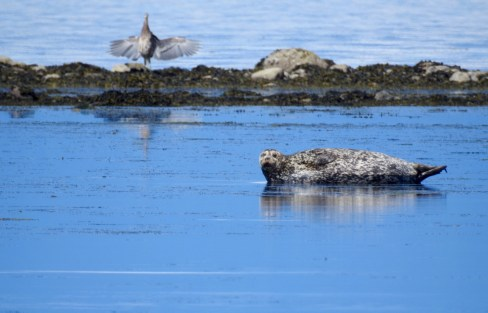 Harbour Seal (Phoca vitulina) with Great Blue Heron (Ardea herodias), Comox Valley, British Columbia.