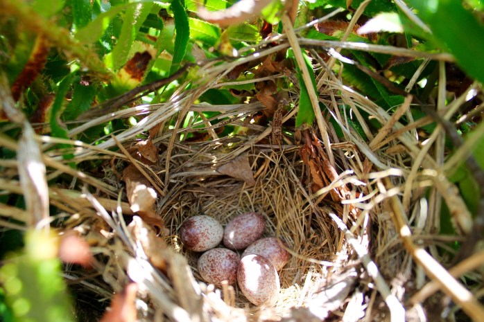 Spotted Towhee (Pipilo maculatus) nest in a sword fern bush, Comox Valley, British Columbia.