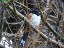 Spotted Towhee (Pipilo maculatus), Comox Valley, British Columbia.