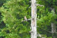 Cedar Waxwing (Bombycilla cedrorum), Comox Valley, British Columbia.