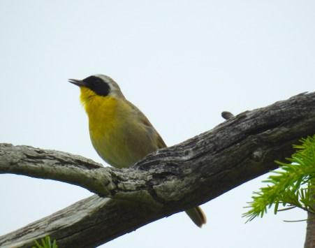 Male Common Yellowthroat (Geothlypis trichas) calling, Comox Valley, British Columbia.