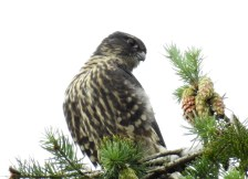 Merlin (Falco columbarius), Oyster River, British Columbia.