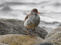 Spotted Sandpiper (Actitis macularius), Comox Valley, British Columbia.