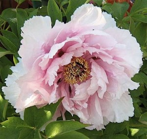 Picture of Peony in flower