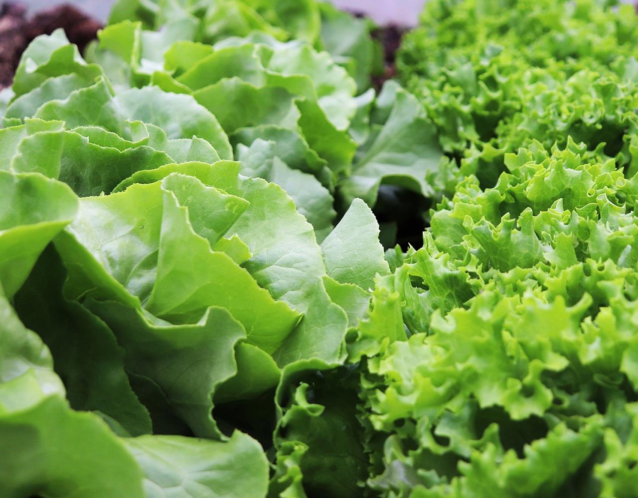 Your garden in April Lettuce