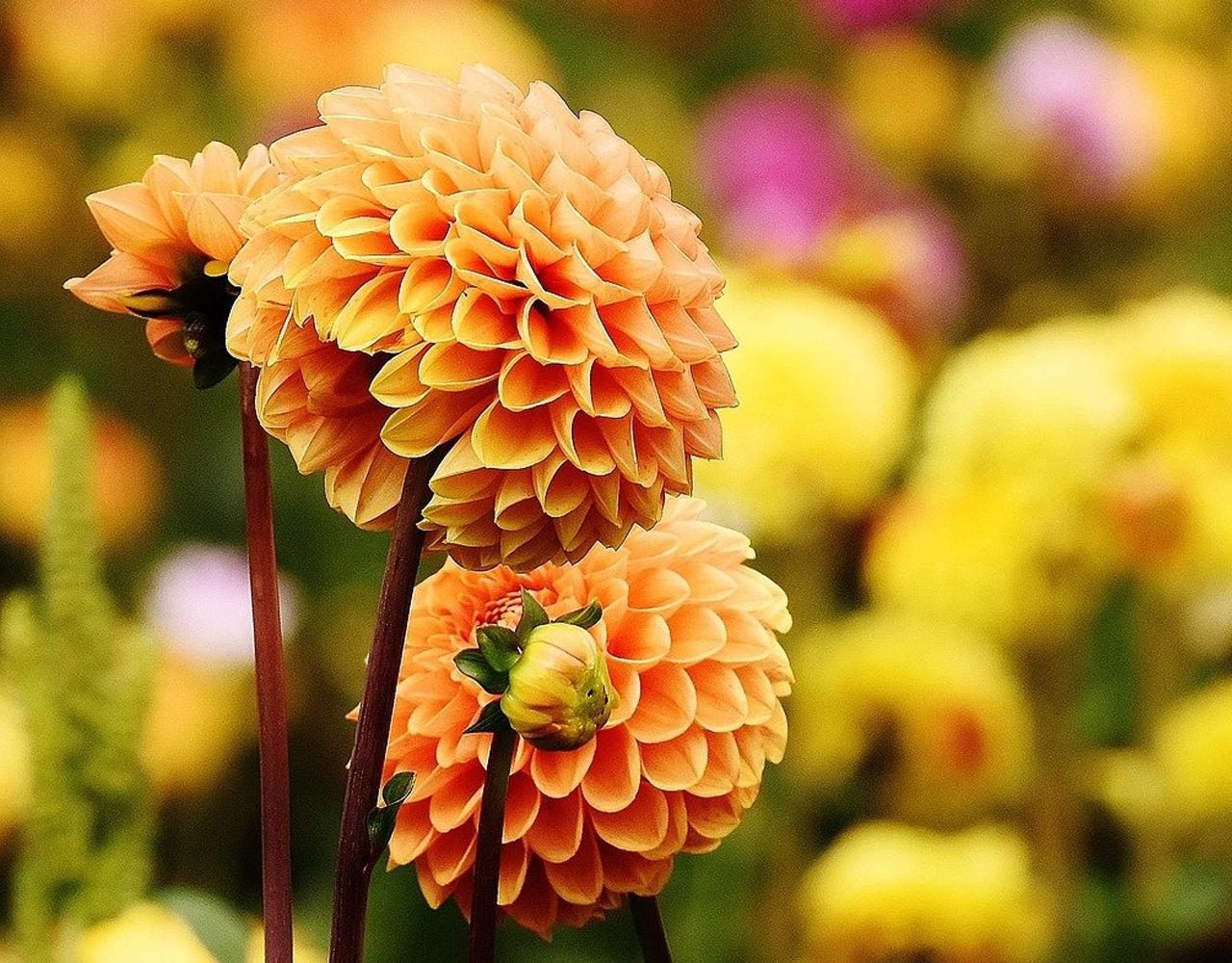 Dahlias - Your garden in April