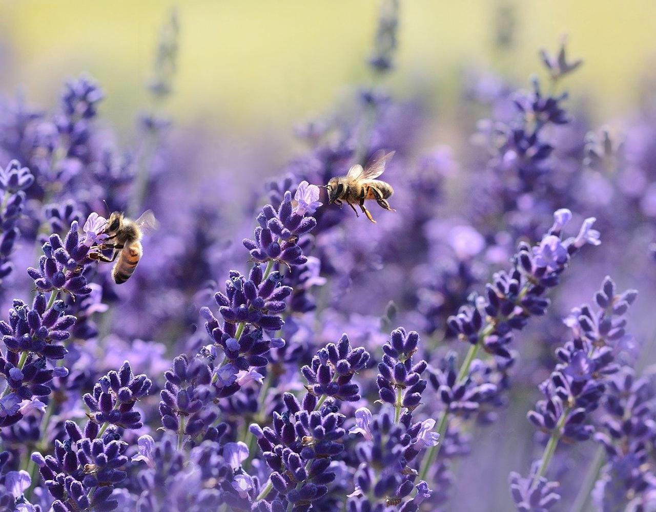 Lavender - Your garden in April