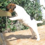 Training a Jack Russell Terrier