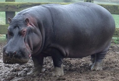 whipsnade zoo_hippo_12032012