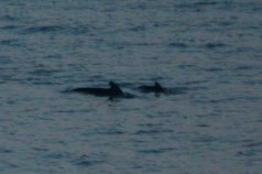 Pilot whale mother and calf