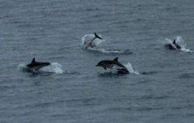 Striped dolphins