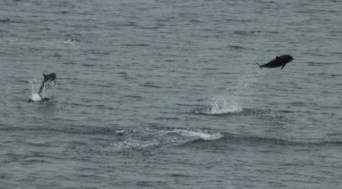 Breaching striped (left) and bottlenose (right) dolphins