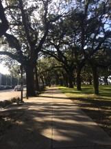so many pretty oak trees!