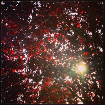 Light through red leaves