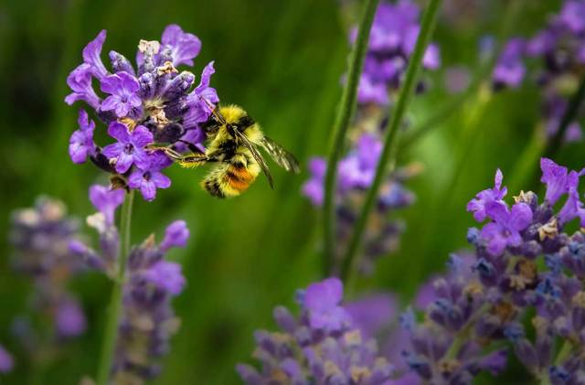 image of honey bee collecting nectar